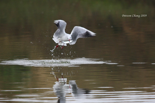 紅嘴鷗 Common Black-headed Gull | by dotcool