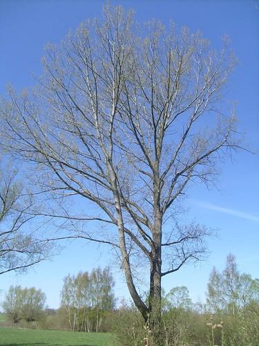 Baum im Frühling bei blauem himmel