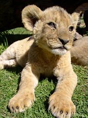 Lion cub soaking up the sun