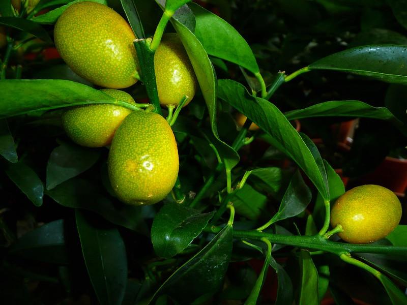 Citrons au chaud