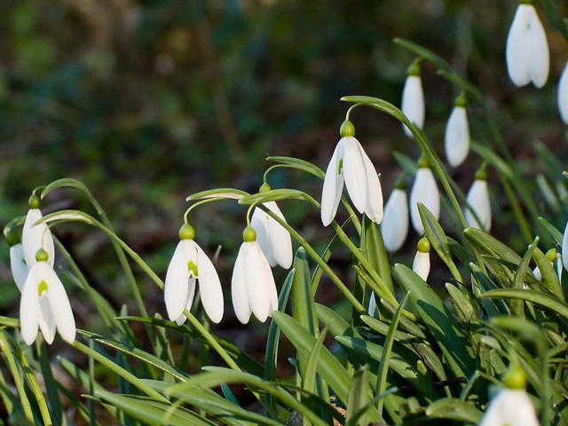 Different Snowdrop species - Galanthus plicatus