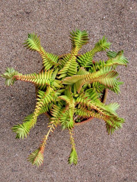 Crassula capitella subsp. thyrsiflora 'Red Pagoda'