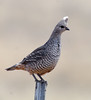 Scaled Quail by truan