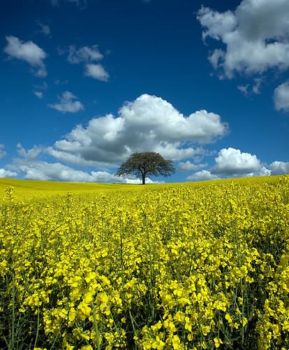 blue sky weather yellow clouds landscape geotagged seed fair rape east cumulus oil bridgford purefinder geo:lat=52992548 geo:lon=096626