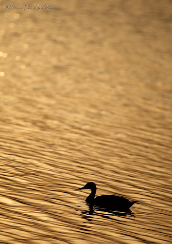 reflection bird birds silhouette sunrise gold golden duck bangalore hebbal quack spotbilledduck anaspoecilorhyncha hebballake spotbill canoneos1dmarkiii goldenwaters canonef100400mmf4556lusmis indianspotbill niranjvaidyanathan bangaloreurban