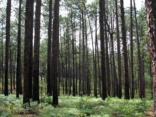 Trees Weymouth Woods NC SP 0178