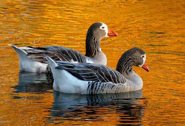 On Golden ponds..Pilgrim geese.