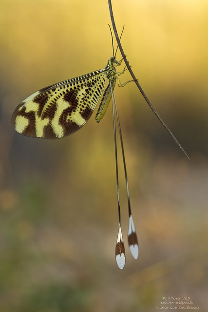 Nempotera bipennis