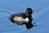 Ring-necked Duck, Male by brian.bemmels