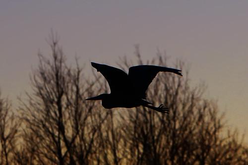 bird silhouette maryland baltimore backlit greatblueheron joppatowne canonef70200mmf28lisusm westtwinriver