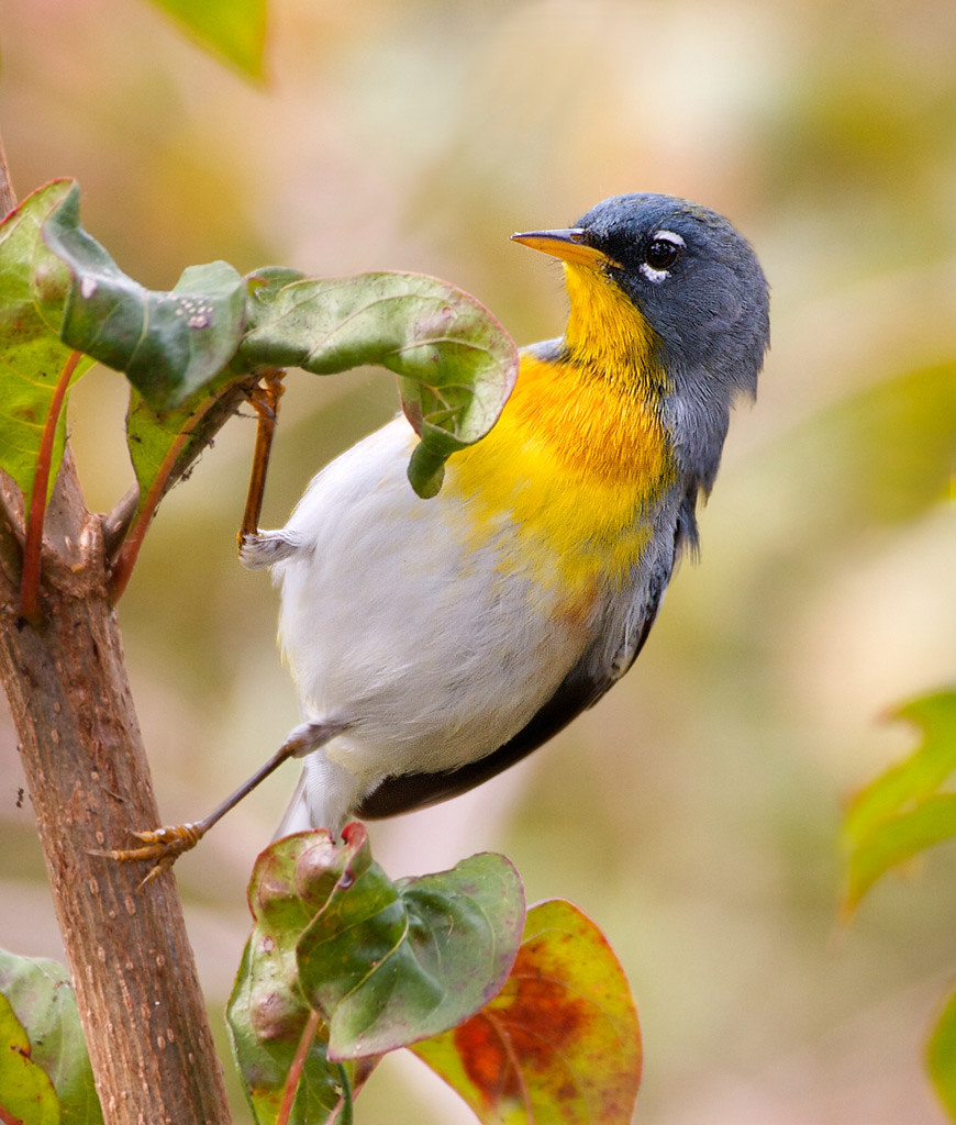 Northern Parula by billkominsky 