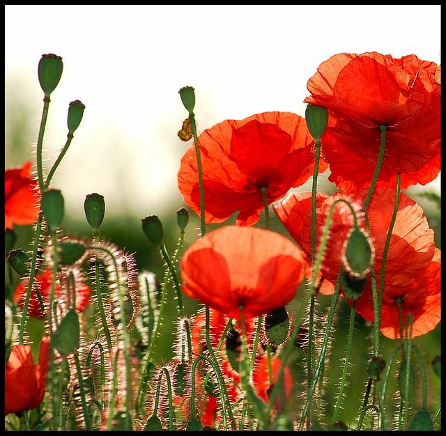 Early morning in a Somerset poppy field