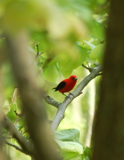 Scarlet Tanager | by A. Drauglis
