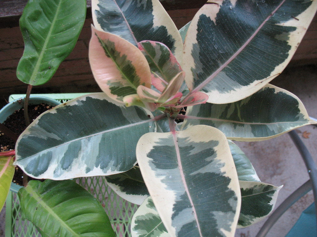 variegated rubber plant | I love the colors and patterns on … | Flickr