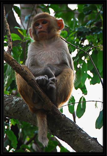wild portrait nature closeup monkey nikon soe centralflorida rhesus nikond80 18200vrii goldstaraward
