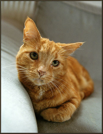 RUFUS - Bamse, they called him at Örebro Cats Home
