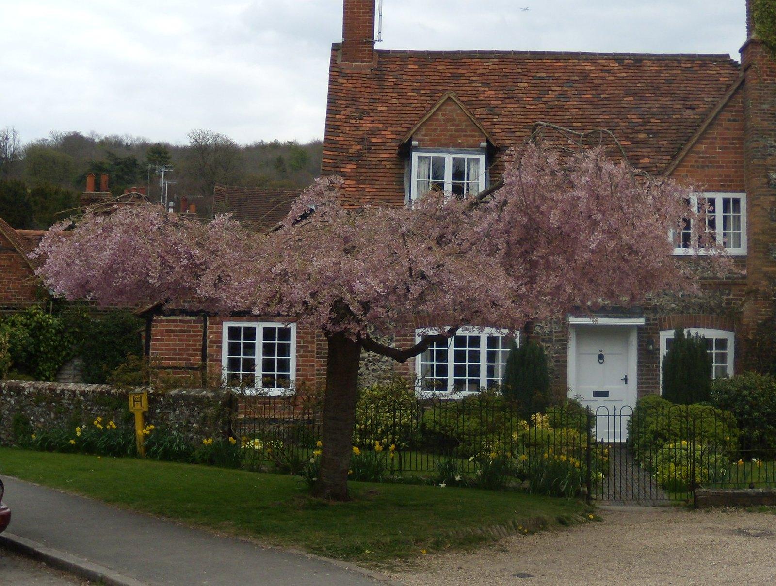 Cherry tree Hambleden. Marlow Circular