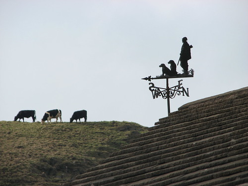 Vane cows !