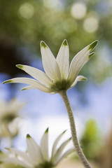 Flannel Flowers in my garden | by aussiegall