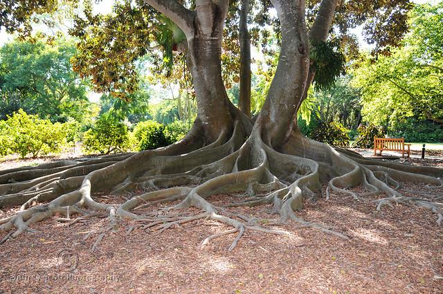 Mid Sized Banyan Tree
