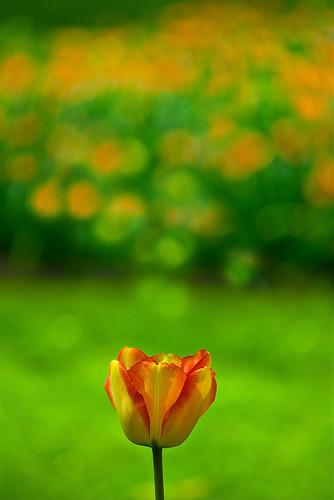 spring nikon tulip printemps flowershow tulipe floralies grootbijgaarden 25faves d40x grandbigard paololivornosfriends
