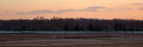 sunset nature field photoshop canon geese wildlife panoramic snowgeese ixus950is sd950 ixus950 sd950is