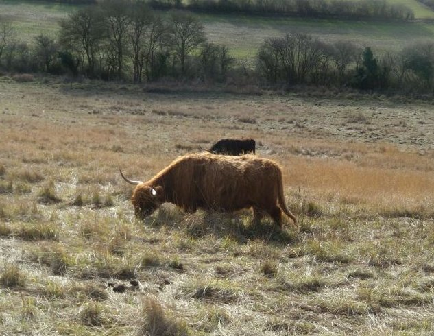 Highland cow Pewley Down. Guildford to Gomshall
