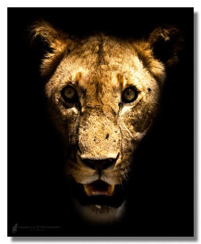 africa cats fauna female mammal kenya lion ken safari afrika region mammalia vulnerable riftvalley pantheraleo felidae lejon masaimaranationalreserve riftvalleyprovince redlist hona maasaimaranationalreserve specanimal kattdjur däggdjur pantheraleonubica conservationstatus threatenedclassification maasailejon maasailion pantheraleomassaicus eastafricanlion östafrikansktlejon