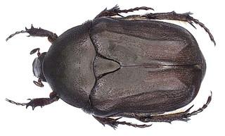 Protaetia morio (Fabricius, 1781)