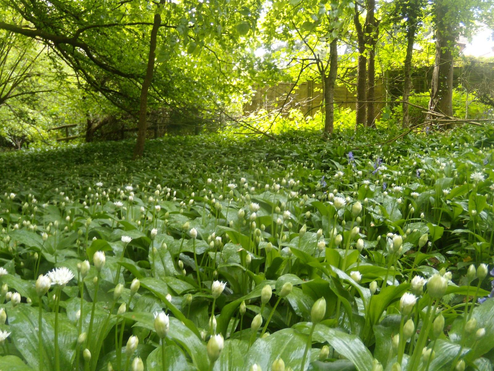 Wild Garlic Closed due to rain. But still pretty. Henley Circular via Stonor