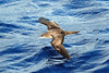 Wedge-tailed Shearwater, Pacific Ocean by Terathopius