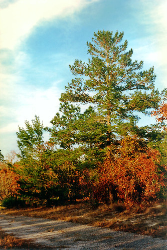 trees florida dusk brush fallfoliage dirtroad pinetrees citruscounty