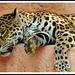 Grochat le repos du jaguar by cumin12