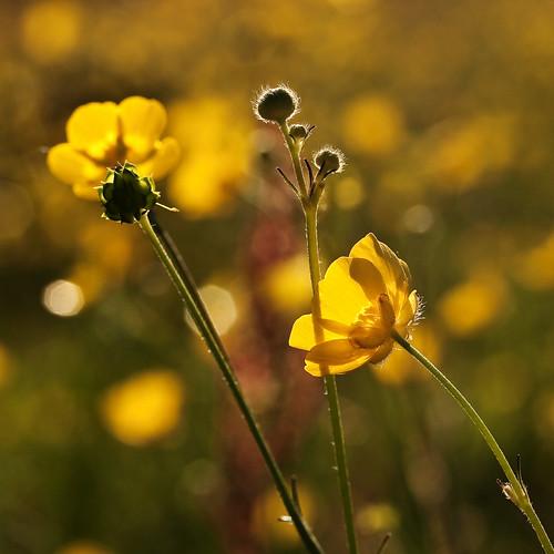 flower london yellow gold buttercup bokeh wildflower valerie sutton wallington canonefs60mm beddingtonpark june09 canoneos400d pearceval 15challengeswinner beautifulworldchallenges