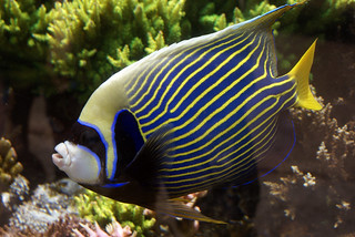 Waikiki Aquarium--Emperor Angelfish | by Makuahine Pa'i Ki'i
