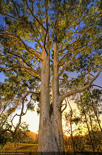 Gum Tree | by Christopher Chan