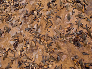 Fur Seal colony census, in Cape Cross, Namibia   by Pierre Lesage