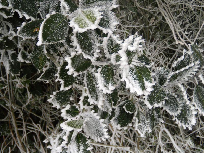 Frosty holly Wanborough to Godalming