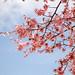 おかめ桜 : Okame Sakura