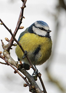 Bluetit | by Cyclingrelf