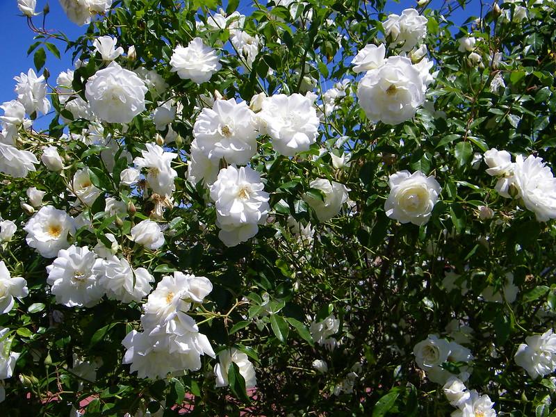 Rose Tree Iceberg