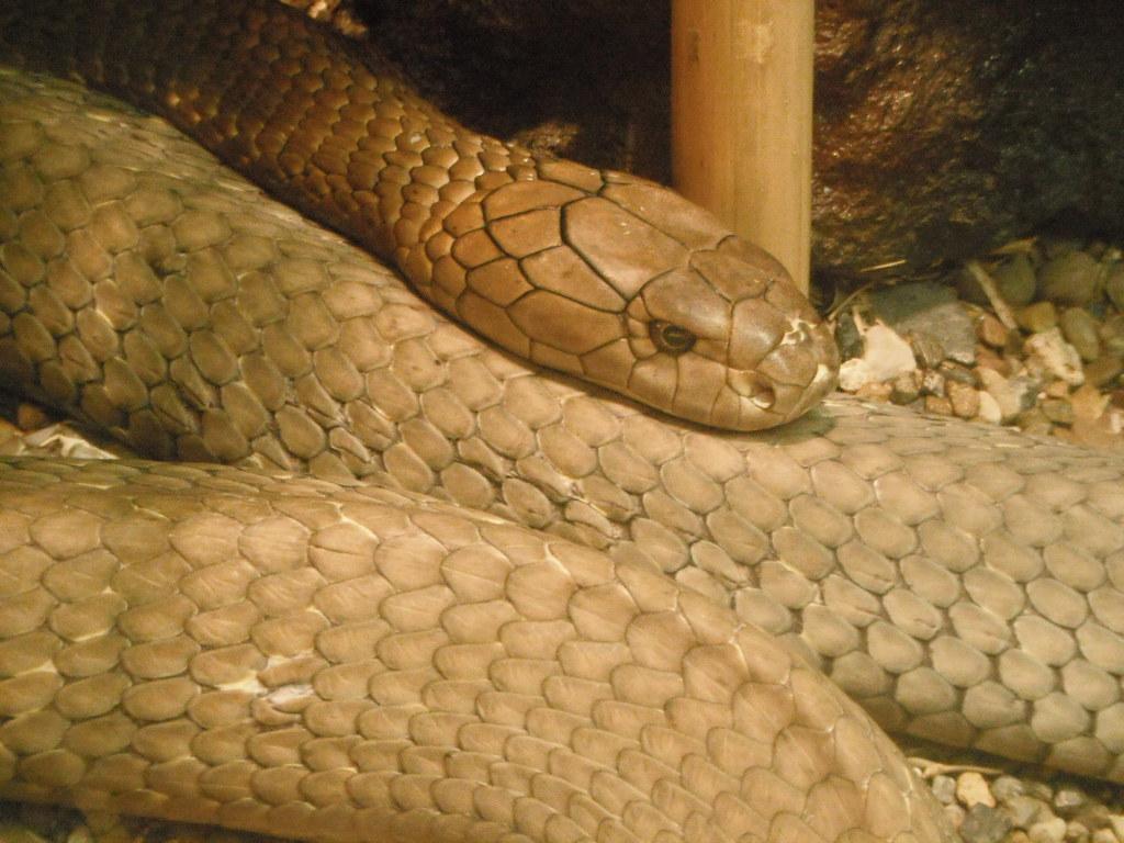king cobra at the Gladys Porter Zoo | cosgaara | Flickr