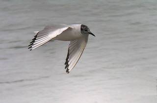 Bonaparte's Gull - breeding | by Len Blumin