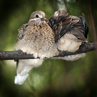 Dove chicks | by Kusi Seminario