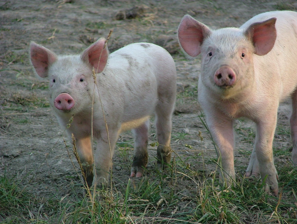 How to automate a Pig Farm with a PLC controller Arduino