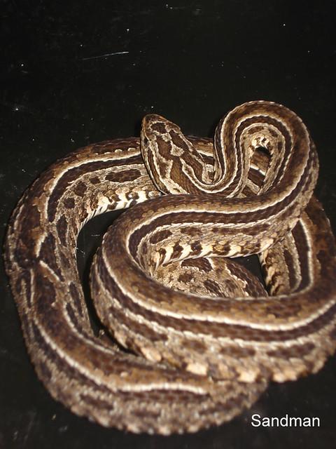 Bothropoides neuwiedi