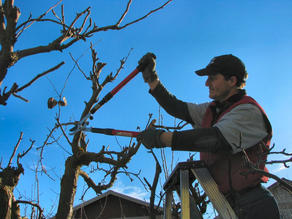 Man pruning trees at the top of a ladder