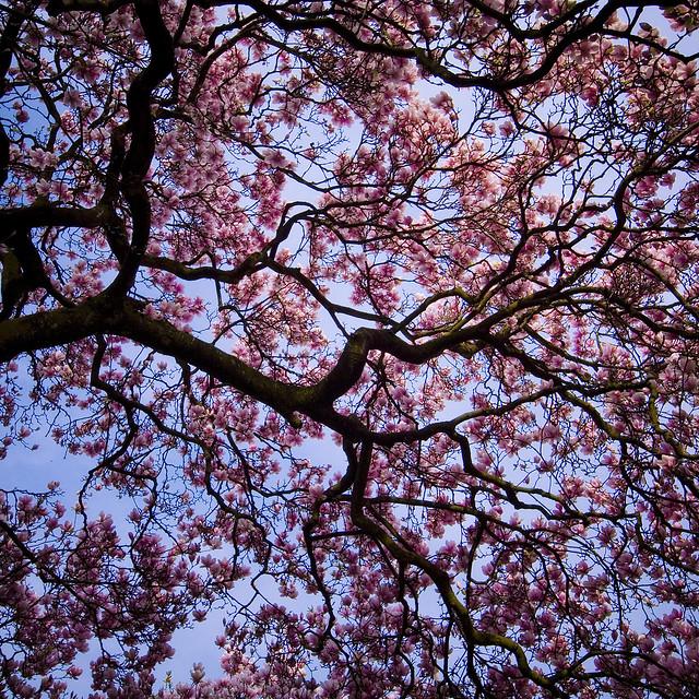 German sakura