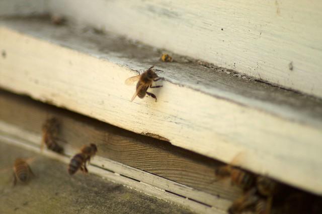 imgp9034 - Bee