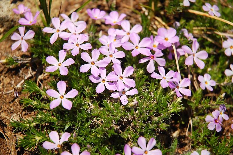 Summit wildflowers